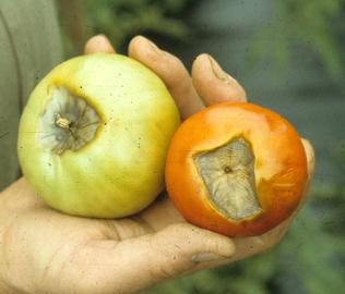 How To Prevent Tomato Diseases