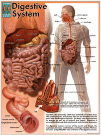 Remedies Of Diseases Of The Digestive System