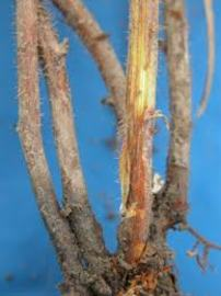 About Brown Root Rots Disease