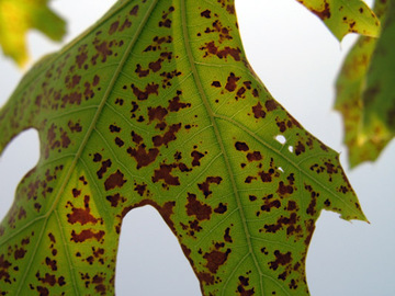 5 Common Signs Of Oak Diseases