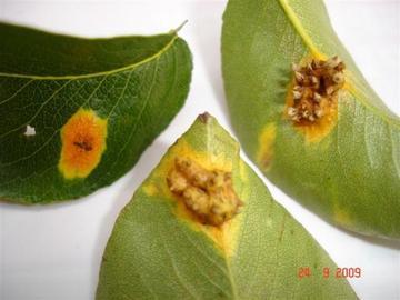 Types Of Pear Tree Diseases