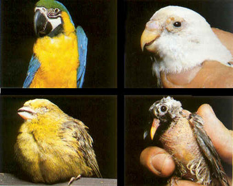 What Is the Most Common Bird Disease?