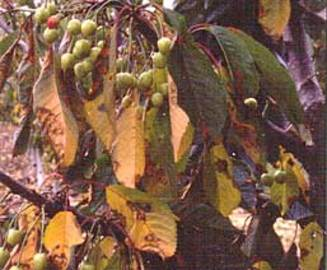 About Elm Tree Diseases And Treatments