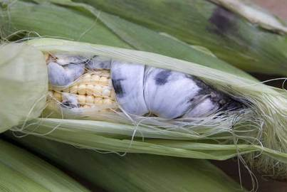 Types Of Corn Diseases