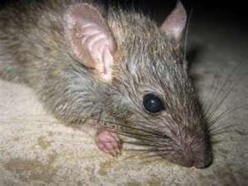 How To Prevent Rat Diseases