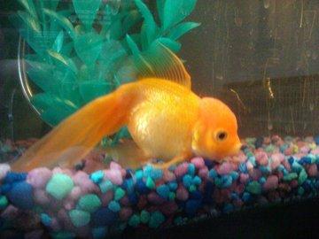 How To Treat Swimbladder Disease in Gold Fish