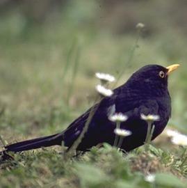 About the Blackbird