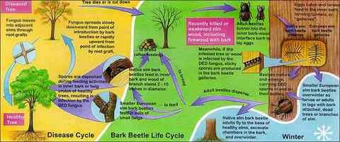 How To Identify Dutch Elm Disease
